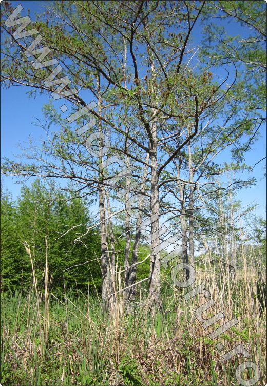Black-Bayou-Monroe-Louisiana-Chiparos-de-balta.jpg