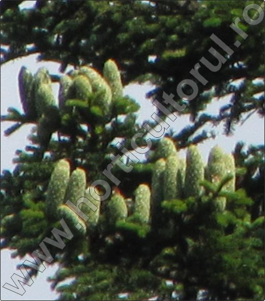 Brad-alb-arbore-ornamental-conifer