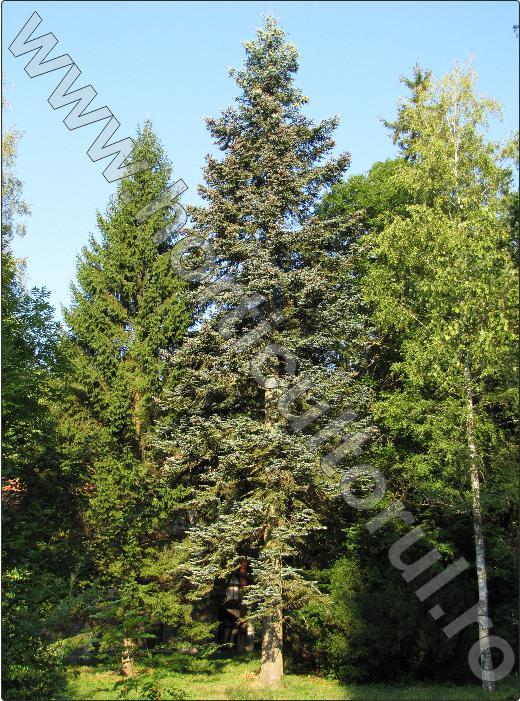Brad-argintiu-Abies-concolor-arbore