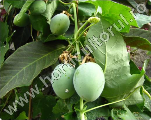 Passiflora subpeltata