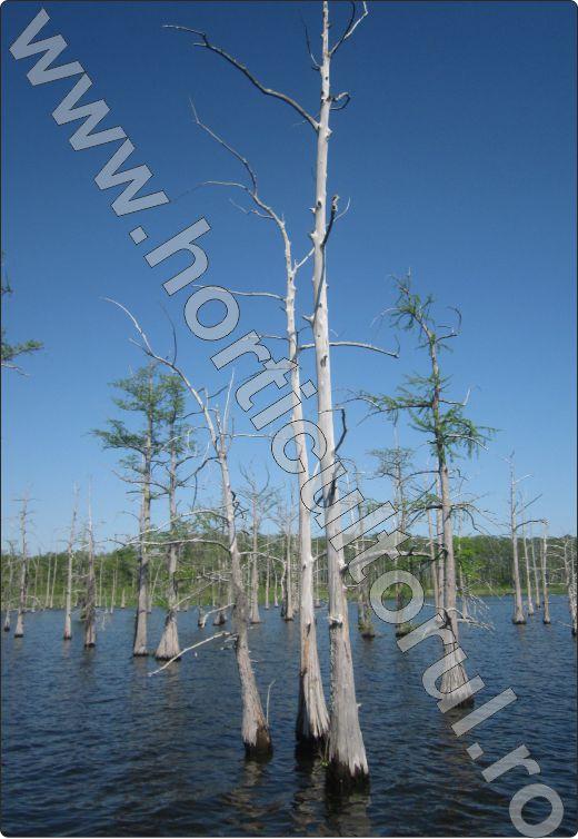 Chiparos de balta - Taxodium distichum-Black Bayou, Monroe, Louisiana