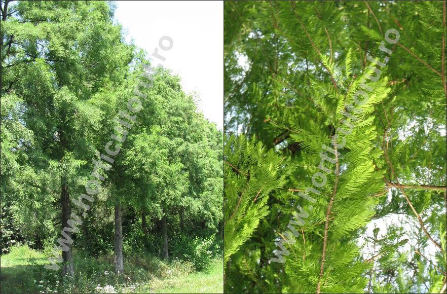 Chiparos de balta - Taxodium distichum2