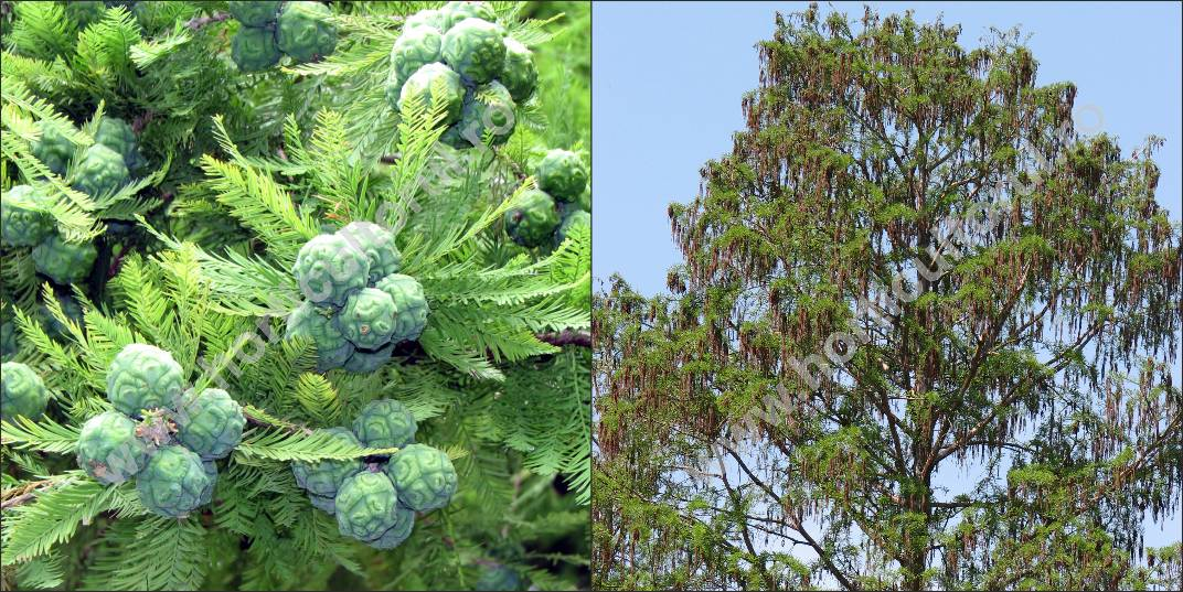 Chiparos de balta (Taxodium distichum)