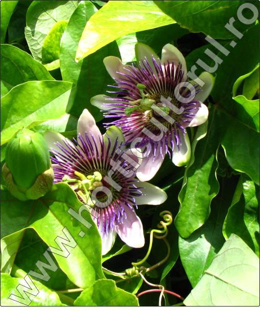 Floarea-Pasiunii-Passiflora