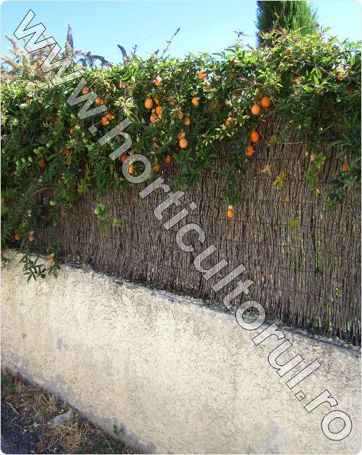 Floarea-Pasiunii-Passiflora-caerulea