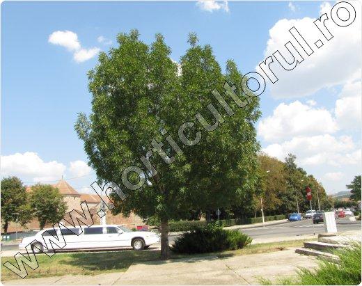 Frasin-comun-Fraxinus-excelsior
