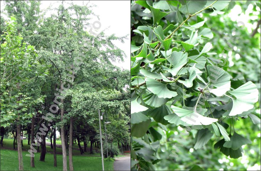 Arborele pagodelor, Ginco biloba (Ginkgo biloba)