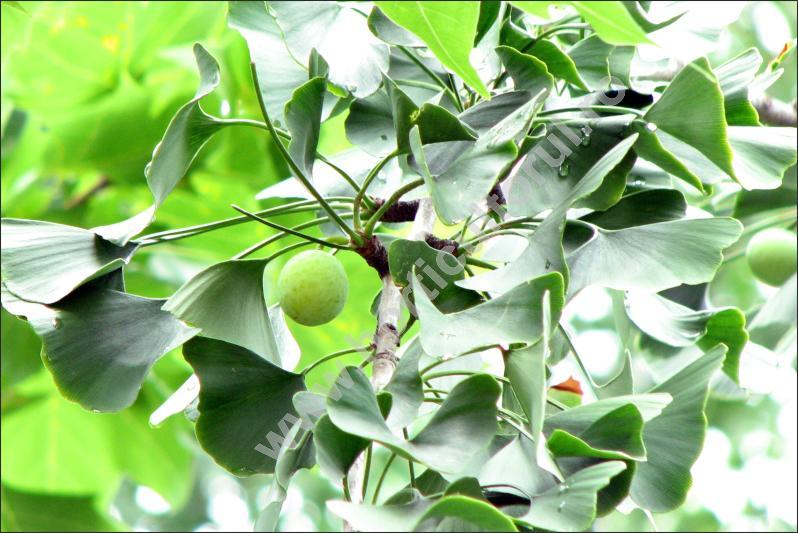 Ginco biloba (Ginkgo biloba) - Fructificatie
