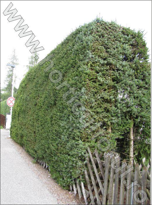 Molid-Picea-abies-gard-viu-conifere