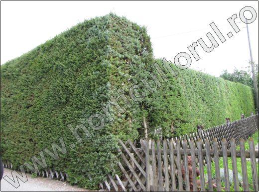 Molidul-Picea-abies-gard-viu