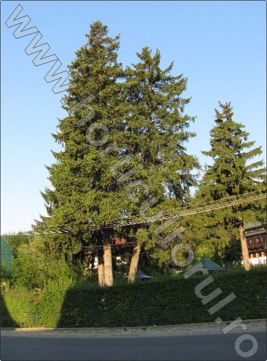 Molidul-Picea-abies