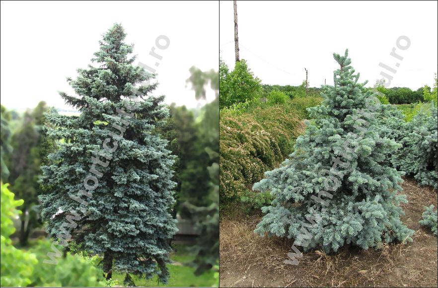 Molidul intepator argintiu (Picea pungens 'argentea')