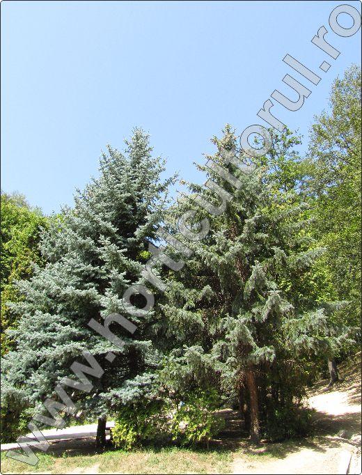 Picea-pungens-argentea-Arbore