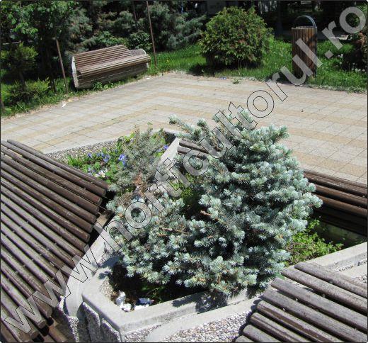 Picea-pungens-glauca