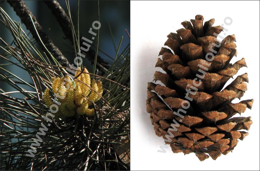 Pin negru (Pinus nigra) - Flori si con