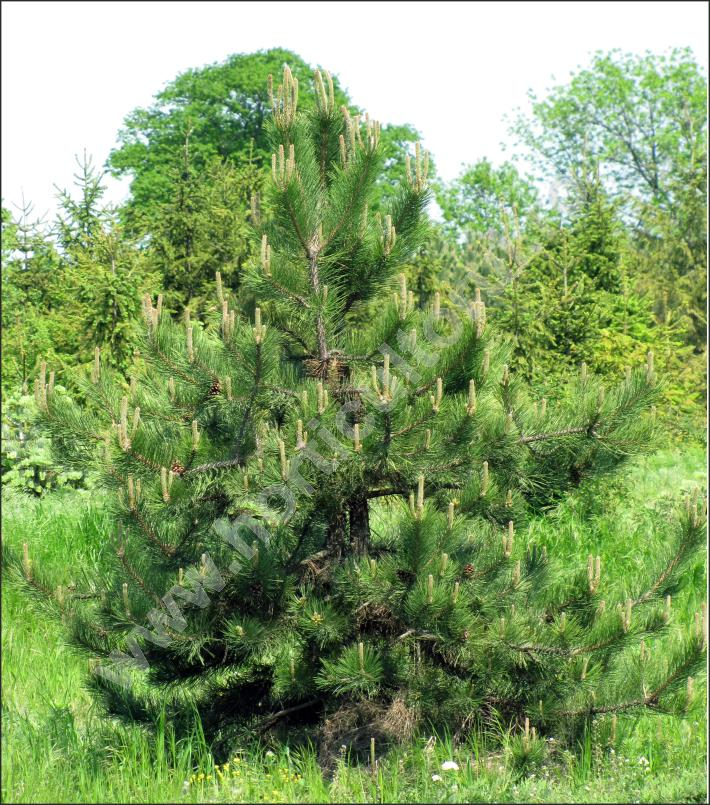 Pin negru, Pin negru austriac (Pinus nigra)