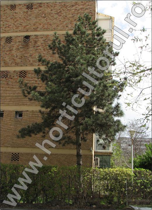 Pin-negru-inmultire-ingrijire-plantare-arbore-copac