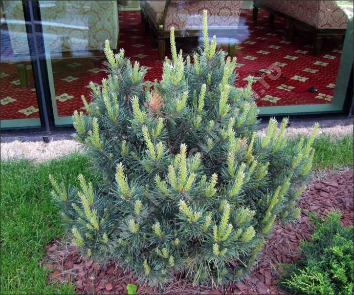 """Pinus silvestris """"Nana"""""""