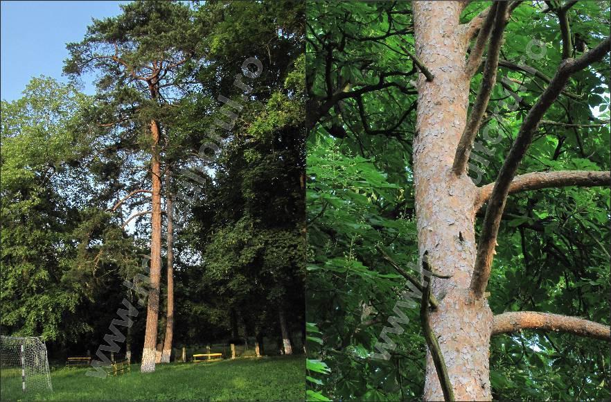 Pinul silvestru sau Pin de padure (Pinus silvestris)