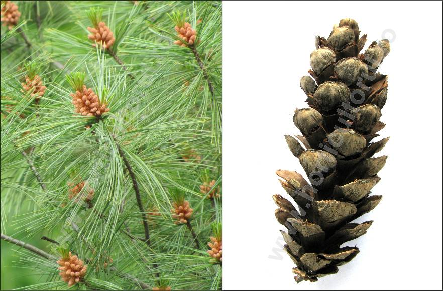 Pin strob sau Pin neted (Pinus strobus)