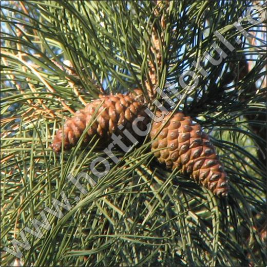 Pinus-nigra-arbore-conifer-ornamental