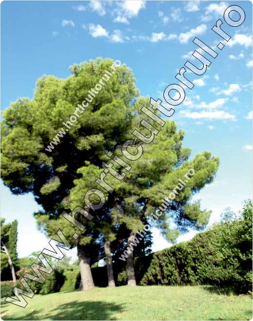 Pinus nigra var. maritima