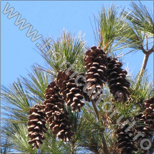 Pinus-strobus-pin-american