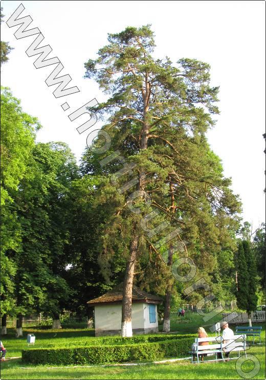 Pinus-sylvestris-arbore-ornamental-rasinos