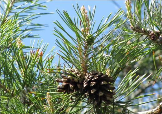 Pinus-sylvestris-conuri