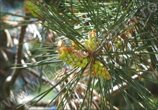 Pinus-sylvestris-pin-silvestru-conifer