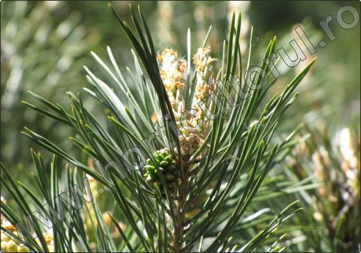 Pinus-sylvestris-pin-silvestru