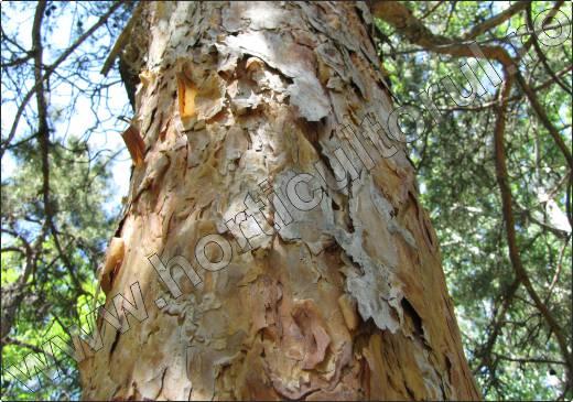 Pinus-sylvestris-ritidom