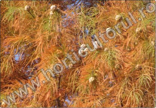 Taxodium-distichum-toamna