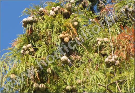 Taxodium-distichum