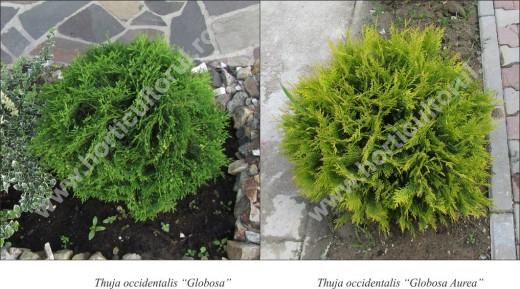 Fig. 2 Tuie, Tuia de canada (Thuja occidentalis globosa aurea)