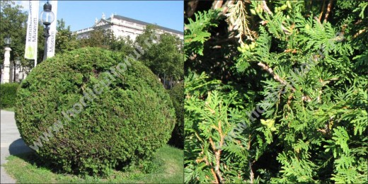 Thuja occidentalis - forme geometrice