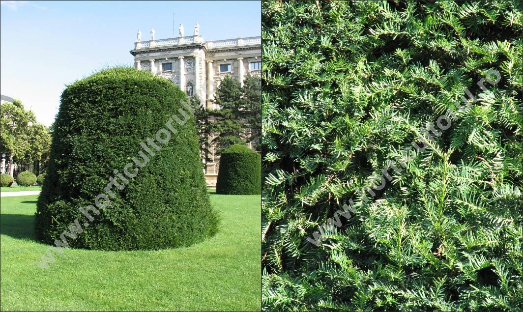 Tisa (Taxus baccata)- Forme geometrice