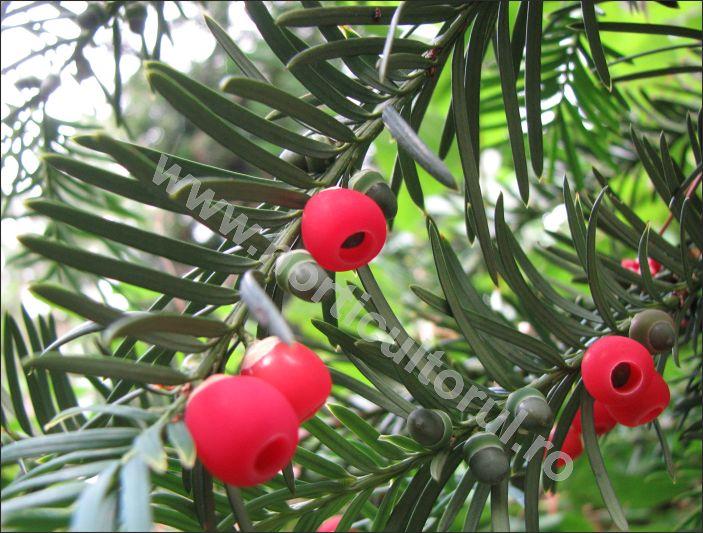 Tisa (Taxus baccata) - Aril