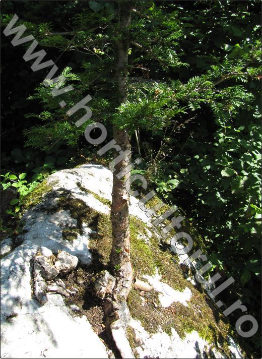 Tisa - Taxus bacata-munte