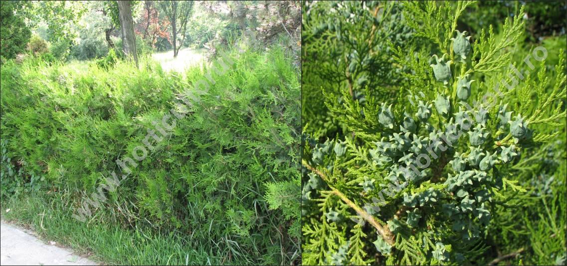 Tuia, Arborele vietii (Biota orientalis)- gard viu