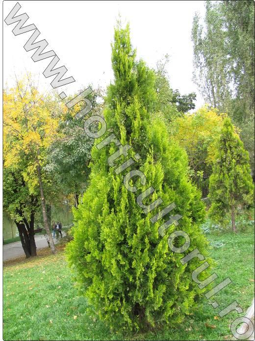Tuia-orientalis-biota