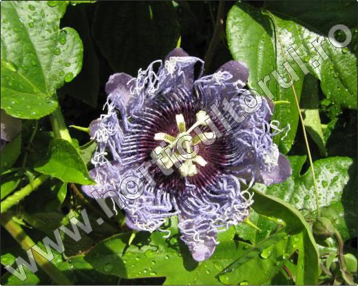 floarea-pasiunii-inmultire.jpg