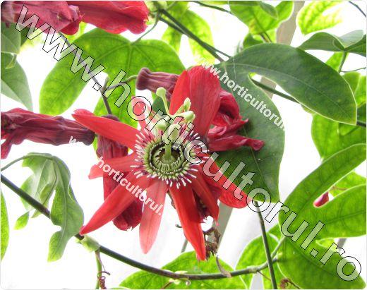 passiflora racemosa_Floarea pasiunii