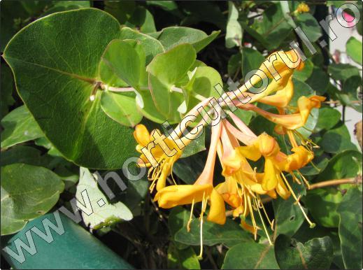 Caprifoiul-floare-cataratoare-poza