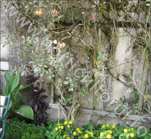 Caprifoiul-liana-cu-flori-cataratoare
