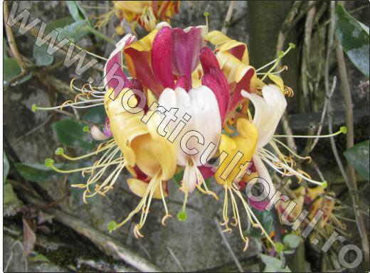 Caprifoiul-liana-flori-superbe