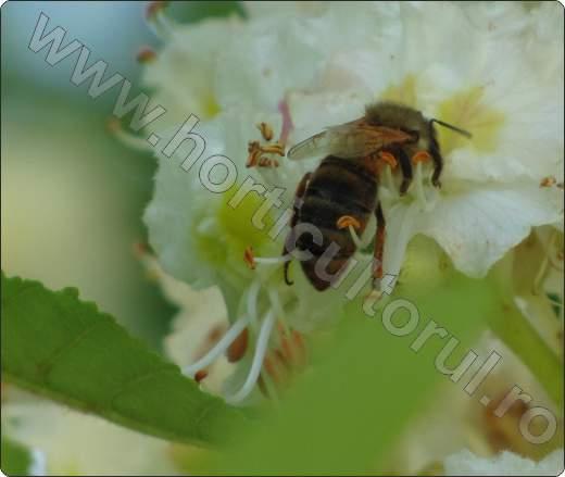 Castan porcesc_Aesculus hippocastanum_flori-albina