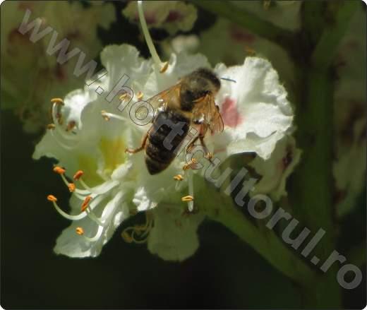 Castan porcesc_floare_albina