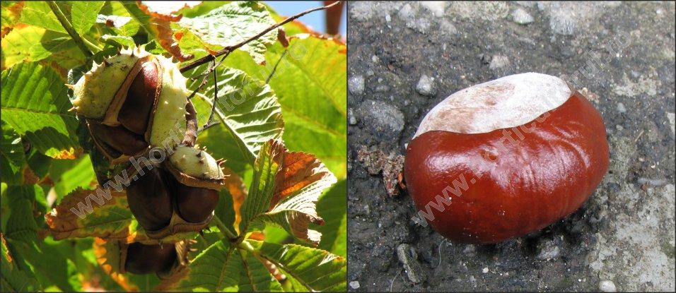 Castanul porcesc (Aesculus hippocastanum)