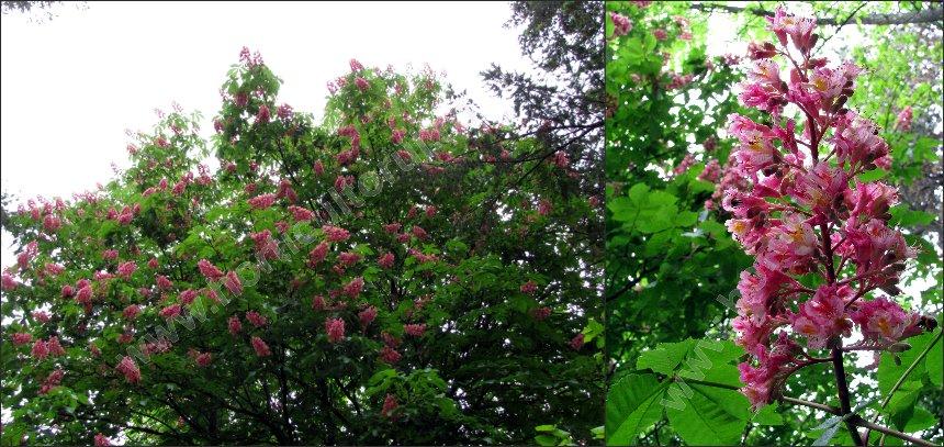 Castanul porcesc rosu sau roz (Aesculus x carnea)
